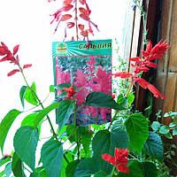 Сальвия красная, фото 1