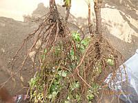 Смородина  черная  Багира, фото 1