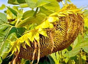 Семена подсолнечника ЕС БИБА 104 дней. Высокоурожайный - 50 ц/га, Евралис Семенс / 2015 г.