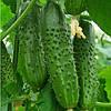 МЕРТУС F1 - насіння огірка партенокарпічного, 1 000 насінин, Rijk Zwaan