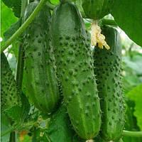 МЕРТУС F1 - насіння огірка партенокарпічного, 1 000 насінин, Rijk Zwaan, фото 1