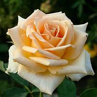 Роза чайно-гибридная Версилия