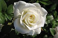 "Роза чайно-гибридная ""Маруся"""