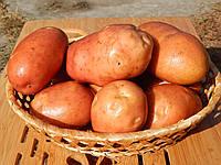 Лесной Картофель (Картопля лісова) 1 кг Еко-Картофель СОРТ БЕЛАРОССА