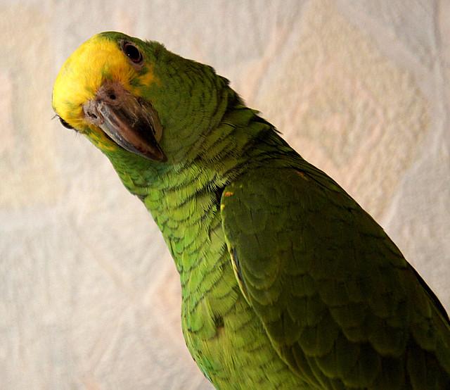 попугаи mamba