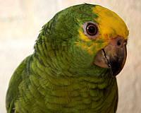Желтолобый амазон или суринамский амазон (Amazona ochrocephala) - говорящий.