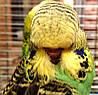 Выставочный волнистый попугай - Чех.