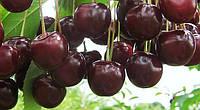 Саженцы плодовых ягодных деревьев вишни, Владимеровская, от производителя, мой сад