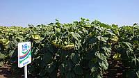 Семена подсолнечника Дунай (обновленный)  A-D, 118-122,Нови Сад (Сербия), Стандарт