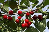 Саженцы плодовых ягодных деревьев вишни, Игрушка от производителя, мой сад