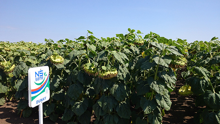 Семена подсолнечника Дунай,  засухоустойчивый, высокоурожайный, 118–122 дней.  Экстра
