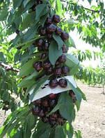 Саженцы плодовых ягодных деревьев черешни, талисман, от производителя мой сад