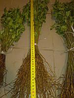 Сеянец антипки (магалебки) 3 сорт