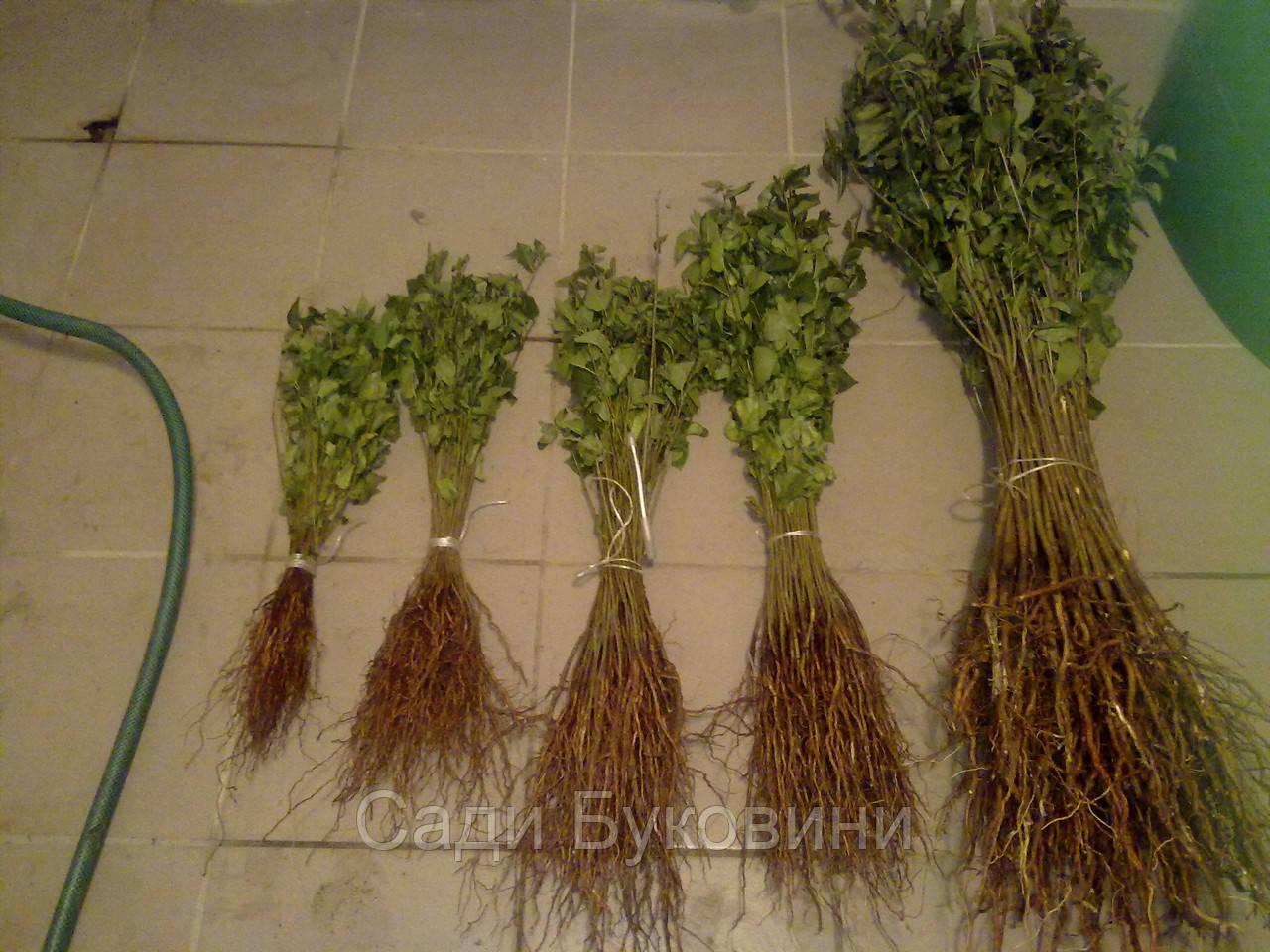 Сеянцы антипки (магалебки)
