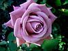 Роза чайно-гибридная Блю нил