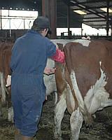 Искусственное осеменение коров и телок