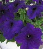 Семена Петуния F1 Танака Blue 250 драже Kitano Seeds
