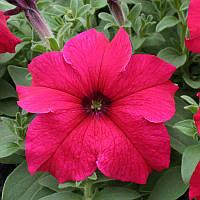 Семена Петуния F1 Танака Deep Rose 500 драже Kitano Seeds