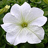 Семена Петуния F1 Танака White 250 драже Kitano Seeds