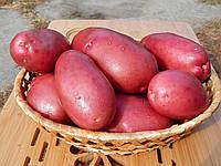 Лесной Картофель (Картопля лісова) Элита 1 кг Еко-Картофель СОРТ ЛЮСЯ, фото 1