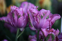 Тюльпан Rai 3 луковицы