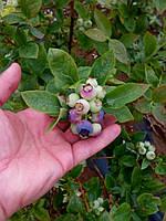 Технология выращивания Голубики/Черники в почве.