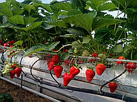 Выращивания земляники в субстрате. Гидропоника.