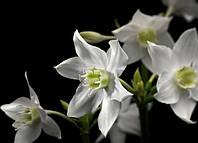 Фотообои на плотной полуглянцевой бумаге для стен 254*184см из 4 листов: Белые цветы лилии