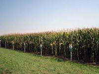 Гибрид кукурузы Земун Поле ЗП 341