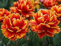 Тюльпан Allegretto