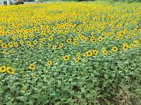 Семена подсолнечника Любаш простой гибрид