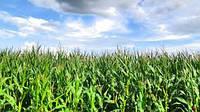 Семена гибрида кукурузы Манифик
