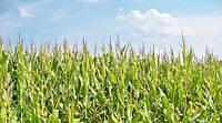 Семена гибрида кукурузы Афина (Франция)