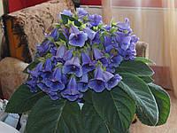 Тідея синя, вкорінений листок