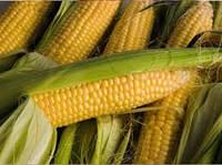 Продам семена кукурузы Порумбень 290