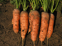 Семена моркрви Шантане 0,5 кг Kouel ( Коуэл)