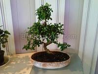 Дерево Кармона мелколистная, фото 1