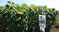 Семена подсолнечника НС-Сумо 2017 (до  50 гр. Гранстар за внесение) Экстра