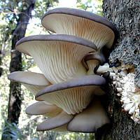 Мицелий (грибница) ВЕШЕНКИ СИНИЙ ЧУЛОК (КОЛУМБИЙСКАЯ) маточный зерновой биологически высушеный  New