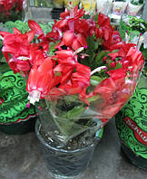 Рождественник красный (декабрист)