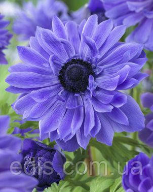 Анемона корончатая фіолетова махрова
