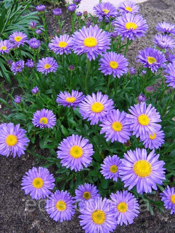 Астра альпийская (фиолетовая ромашка)