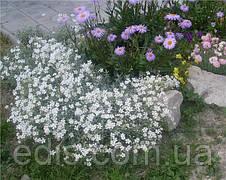 Роговик Сніговий килим, фото 2
