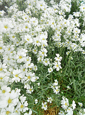 Роговик Сніговий килим, фото 3