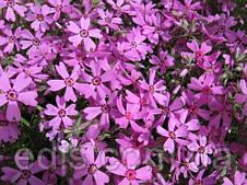 Флокс шилоподібний Emerald Pink (Емеральд Пінк) рожевий, фото 2