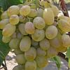 Саженцы винограда сорт Карабурну