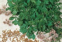 Семена кориандра Карибе 1 кг Тирас