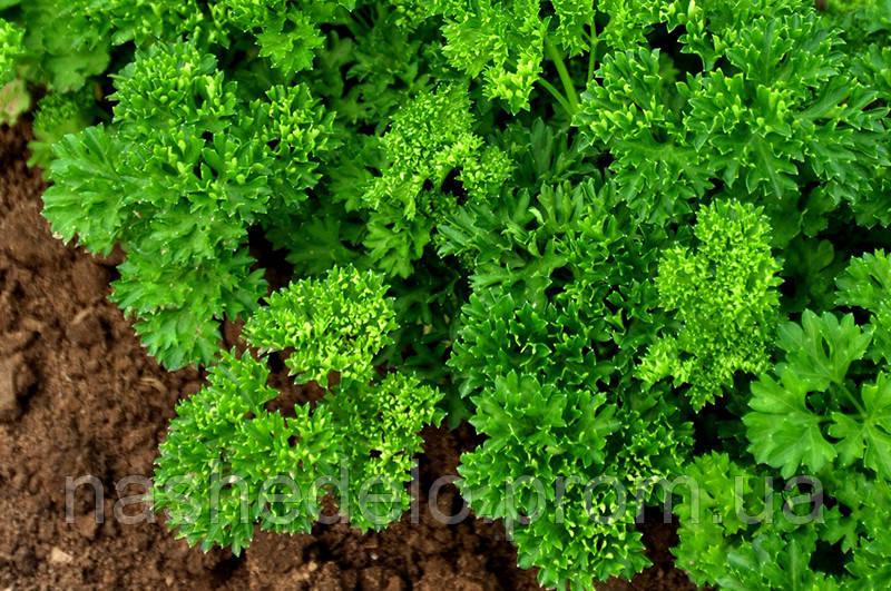 Семена петрушки Москраузе 10 гр. Rijk Zwaan