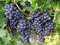 Саженцы винограда сорт Муромец