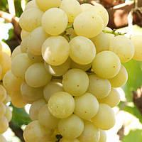 Саженцы винограда сорт Мускат Италия